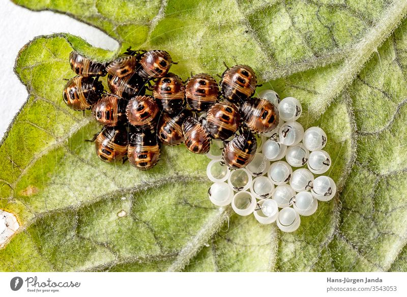 Schlüpfende Wanzenlarven mit Eiern Marienkäfer eier schlüpfen gelege insekt Polyphaga Cucujiformia blatt Coccinellidae ungeziefer schädling Harmonia axyridis