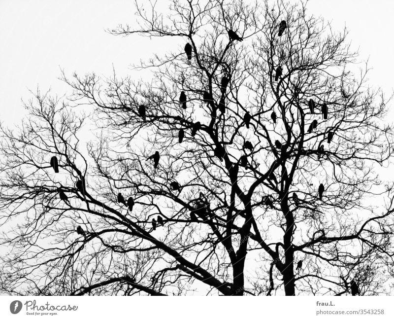 Im kahlen Geäst des Baumes planen die Vögel ihr Wolkenkuckucksheim. Krähen Natur Außenaufnahme Vogel Winter