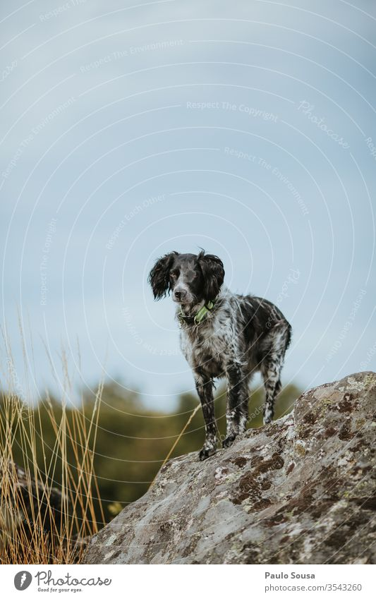 Hund Bretagne-Spaniel auf den Felsen stehend Jagdhund Haustier Tag Tier Spielen Porträt Rassehund Farbfoto Hundeschule Säugetier Hunderasse Außenaufnahme