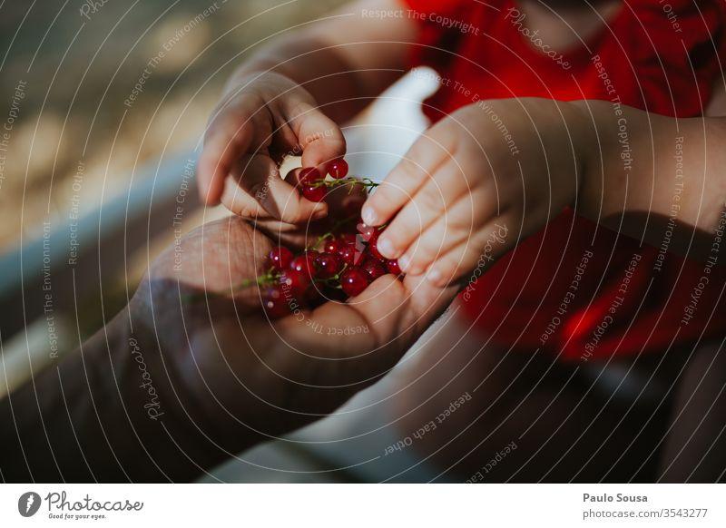 Nahaufnahme beim Pflücken von Johannisbeeren von Hand Ribe rote Johannisbeere Beeren Beerenfrucht Rippen rubrum Beerensträucher Ernährung Lebensmittel Frucht