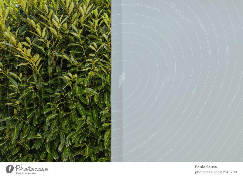 Mauer und grüne Blätter Textfreiraum Textfreiraum rechts Wand weiße Wand Hintergrund Kontrast graphisch Menschenleer Tag Strukturen & Formen Linie abstrakt