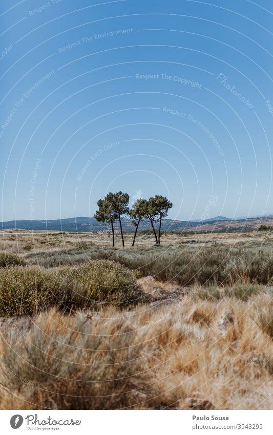 Kiefern isoliert Baum Bäume Natur Menschenleer Farbfoto Außenaufnahme Umwelt Nadelbaum Landschaft Tag Wachstum natürlich Entwaldung wüst Himmel Baumstamm schön