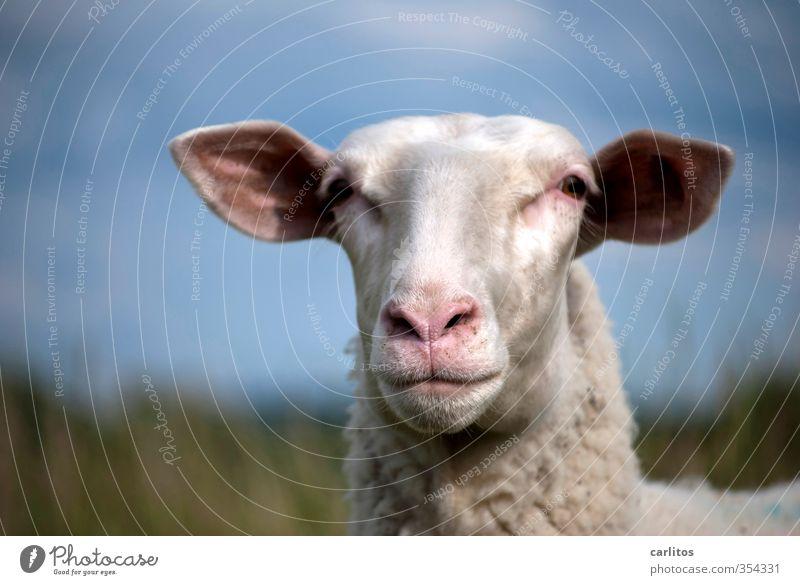 Tier | voll schafes Foto Nutztier Tiergesicht Fell 1 Fressen kuschlig niedlich Fröhlichkeit Zufriedenheit Coolness Vertrauen Geborgenheit achtsam Schaf