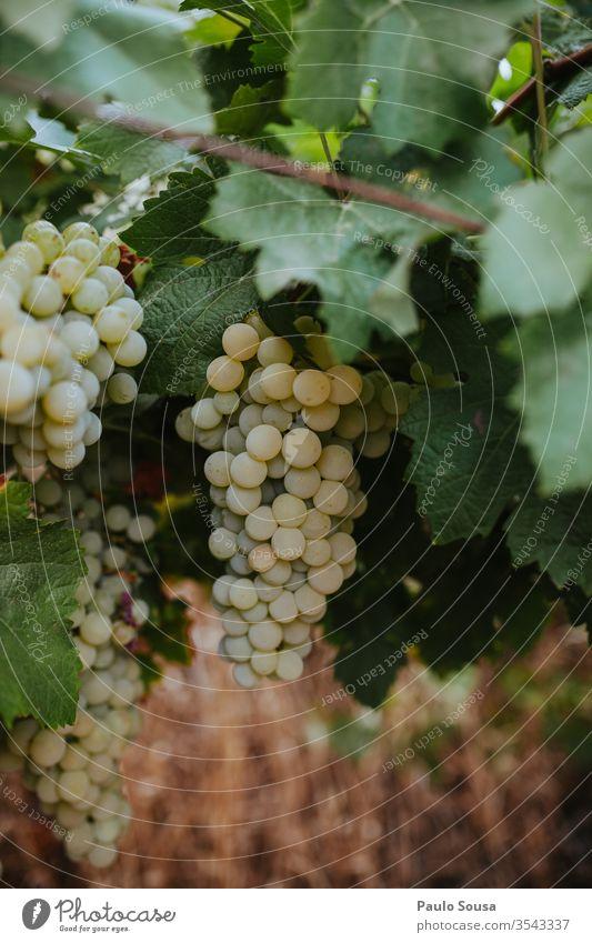Bio-Trauben Bioprodukte Biologische Landwirtschaft organisch Weinlese Ernte Farbfoto Gesunde Ernährung reif Ackerbau lecker Außenaufnahme Vegetarische Ernährung