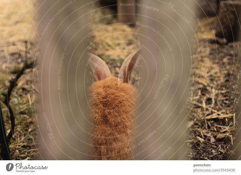 Tierhaltung. Belgische Riesen. Riesenkaninchen. Rückansicht eines Hasen mit rotem Fell durch einen Gartenzaun riesenkaninchen gartenzaun rotes fell tier