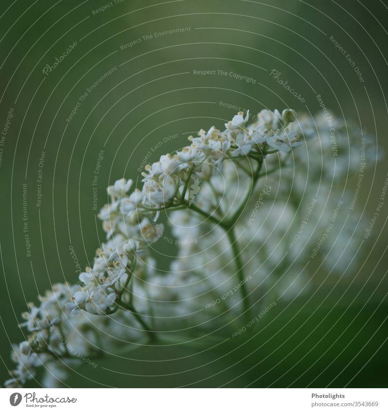 Holunderblüte weiß Holunderbusch grün Blüte Frühling Blühend Nahaufnahme Makroaufnahme Farbfoto Detailaufnahme Schwache Tiefenschärfe Garten Busch Außenaufnahme