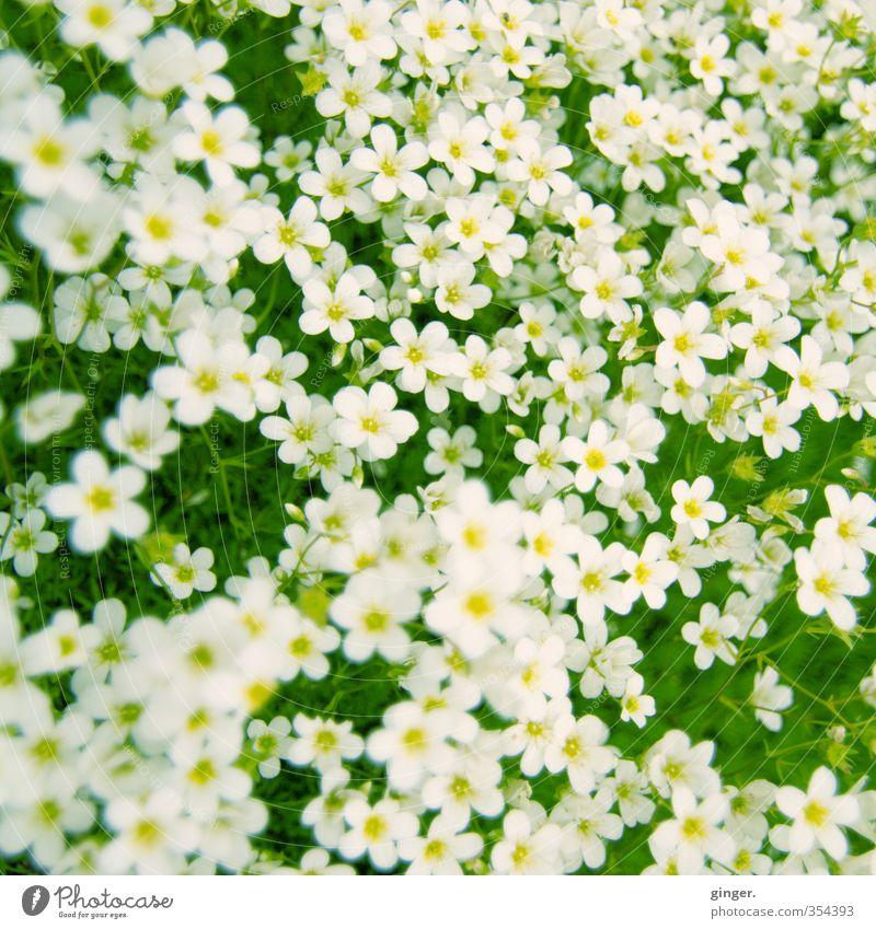 Ich bette dich auf einem Blumenteppich Umwelt Pflanze gelb grün weiß Teppich viele durcheinander klein zart Cross Processing Wachstum geschlossen