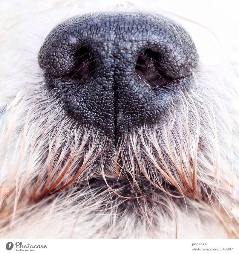 guter riecher | wörtlich genommen Hund Hundenase Hundeschnauze schwarz Nahaufnahme riechen Malteser Haustier Schnauze weiß Fell Tiergesicht Nase Tierporträt