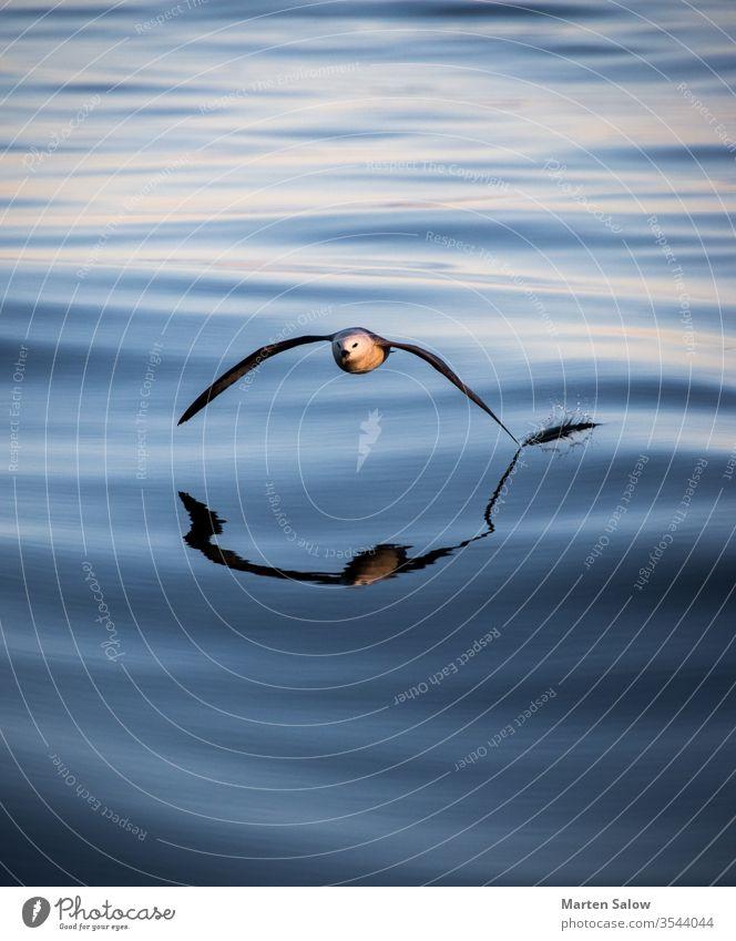 Möwe streift das Wasser MEER Meer Windstille berühren fliegen Fliege Flügel blau weiß atlantisch Fläche offen Küste Frieden Gelassenheit Air Sonne Schweben