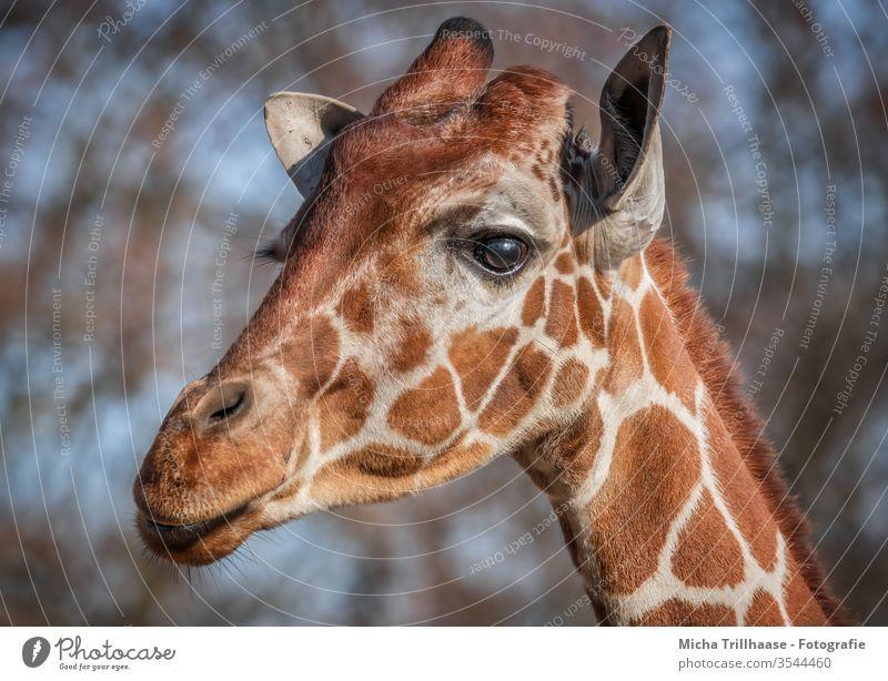 Giraffe Porträt Giraffa Tier Wildtier Kopf Gesicht Auge Ohren Nase Maul Fell Hals Tierporträt Tiergesicht Natur Nahaufnahme Blick Sonnenlicht Sonnenschein