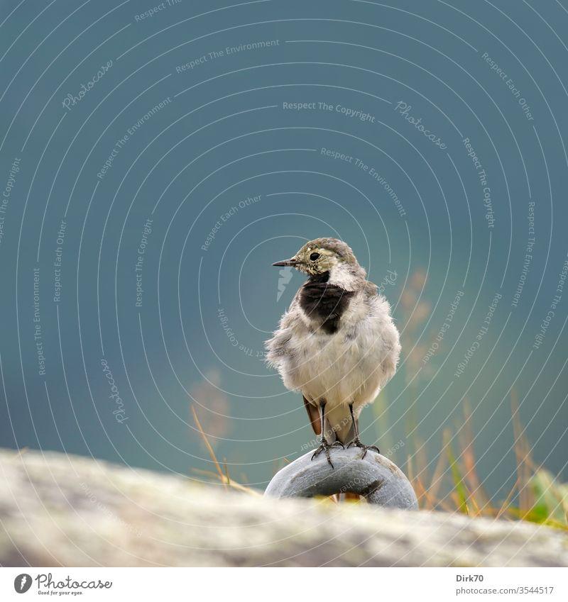 Porträt einer Bachstelze am Sognefjord in Norwegen Singvogel Vogel 1 Singvögel Tier Außenaufnahme Farbfoto Natur Tag Wildtier Tierporträt Menschenleer
