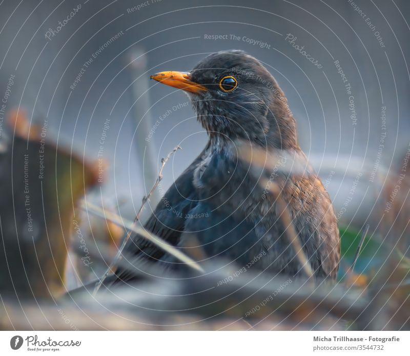 Aufmerksame Amsel Turdus merula Tiergesicht Kopf Schnabel Auge Feder Flügel gefiedert Blick Blick in die Kamera Tierporträt Nahaufnahme Vogel Wildtier Natur
