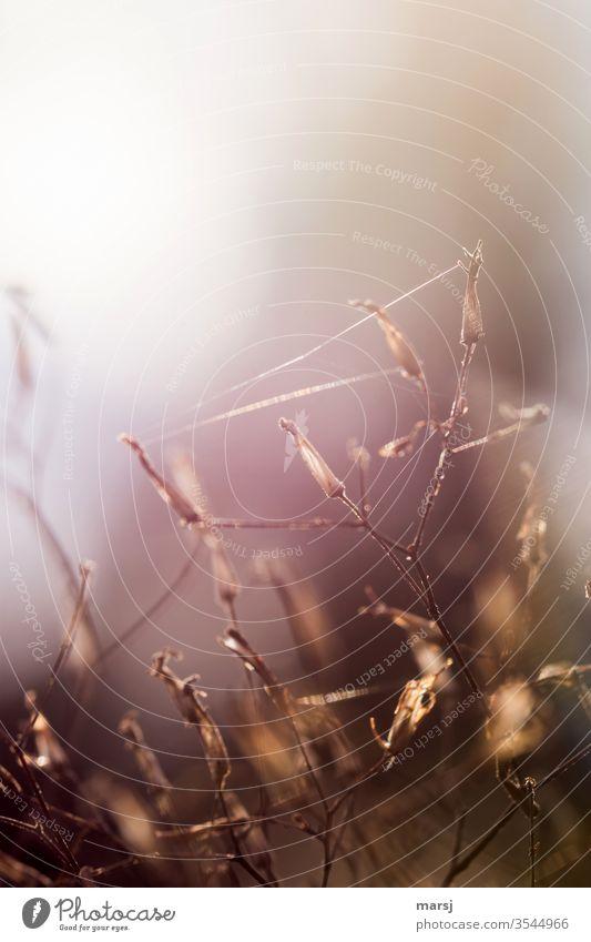Spinnenfäden an vertrockneten Pflanzen fein Altweibersommer Gegenlicht Gräser Farbfoto Natur Sommer Licht Sonnenlicht Gras Verbindung verbunden Lichterscheinung