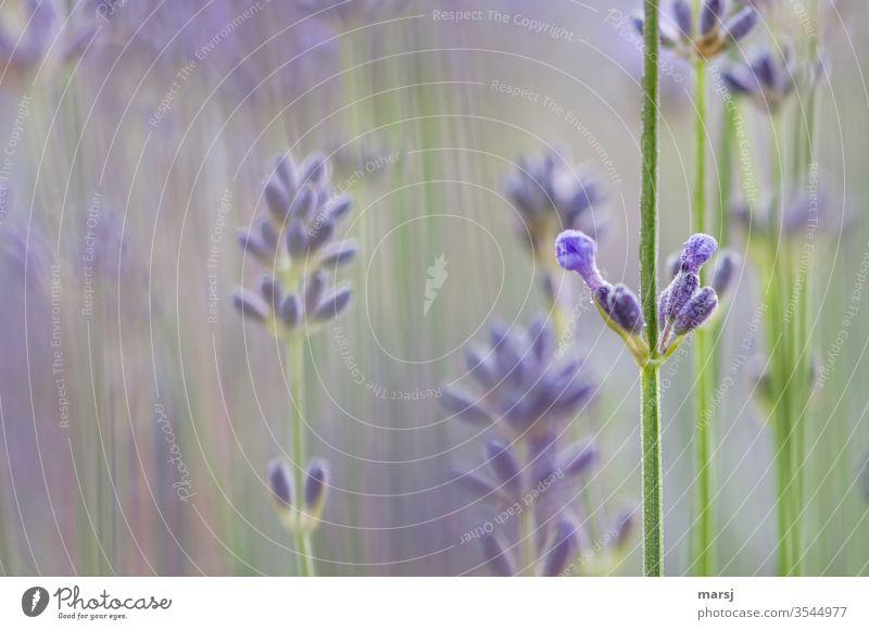 Lavendelblüten Blüte Blütenknospe violett Pflanze Duft Farbfoto Natur Blume Sommer Schwache Tiefenschärfe natürlich Stängel Blühend Garten Wachstum