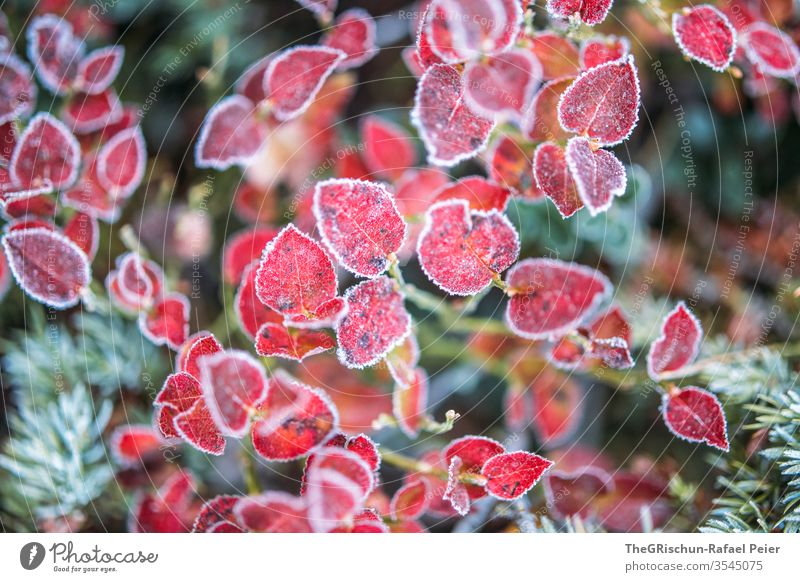 Rote Blätter - Frostbedekt rot kalt Herbst Nadelbaum strauch Außenaufnahme Baum Pflanze Detailaufnahme Natur Farbfoto Schwache Tiefenschärfe
