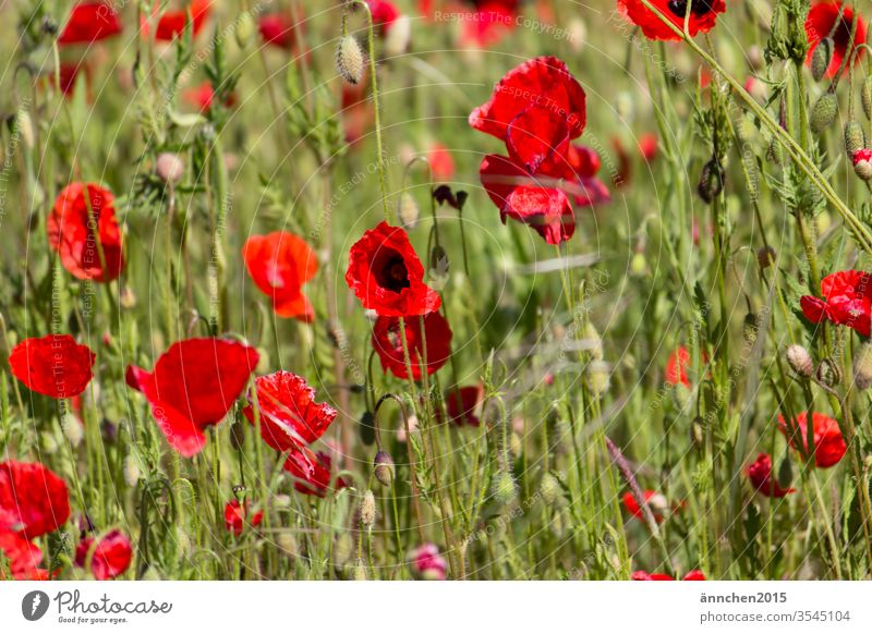 Ein Ausschnitt von einem MohnBlumenfeld Wiese Sommer rot Klatschmohn Farbfoto Mohnfeld intensiv Mohnblüte Feld Außenaufnahme Pflanze viele Idylle mohnwiese
