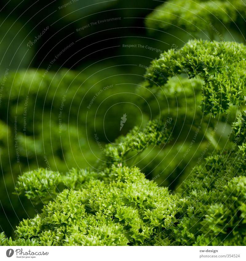 Silie, Peter Natur Pflanze Grünpflanze Nutzpflanze Topfpflanze Petersilie Garten grün Gesundheit Farbfoto Außenaufnahme Menschenleer Textfreiraum links
