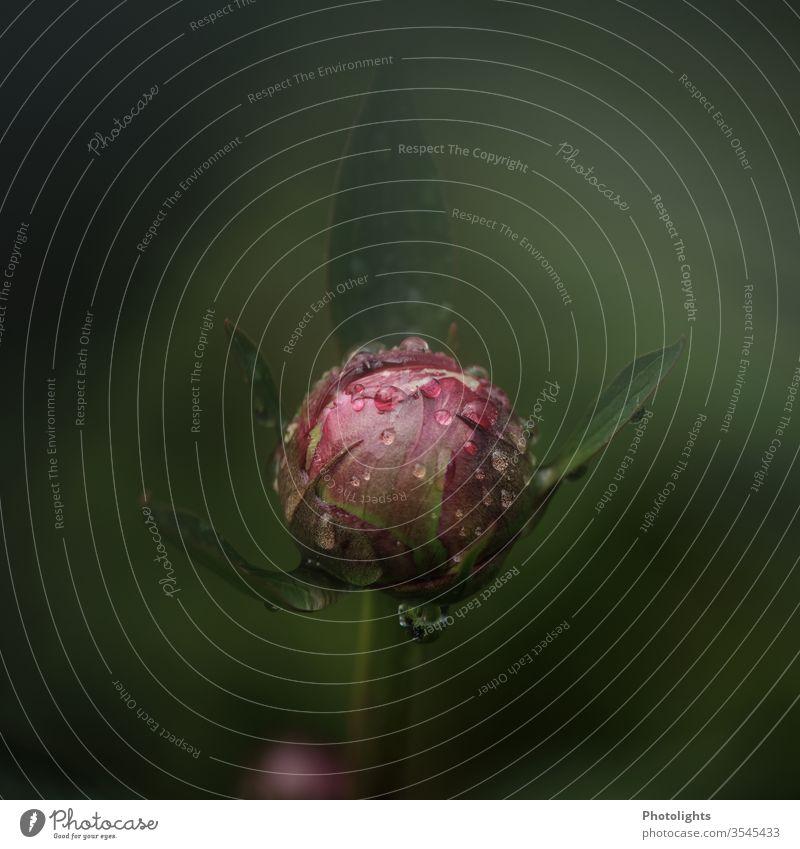 Knospe einer Pfingstrose mit Wassertropfen rosa grün Spiegelung Pflanze Reflexion & Spiegelung Nahaufnahme feucht Tropfen Detailaufnahme Makroaufnahme Natur