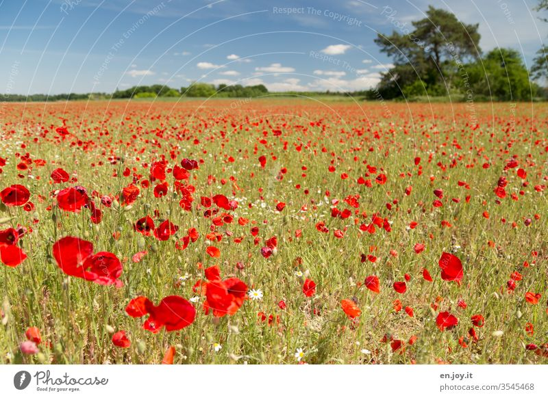 Mohnfeld unter blauem Himmel Mohnblüte Sommer Wiese Klatschmohn Frühling Blumenwiese Pflanzen Wiesenblumen Feld Rot Blühen Blüten Horizont Blauer Himmel
