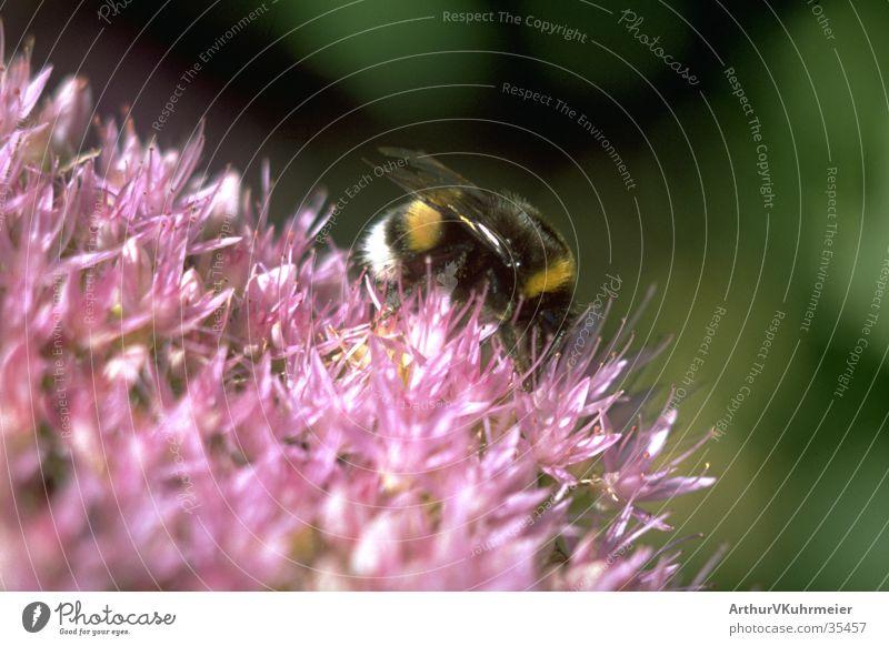 Hummel auf fetter Henne Insekt diagonal Hummel