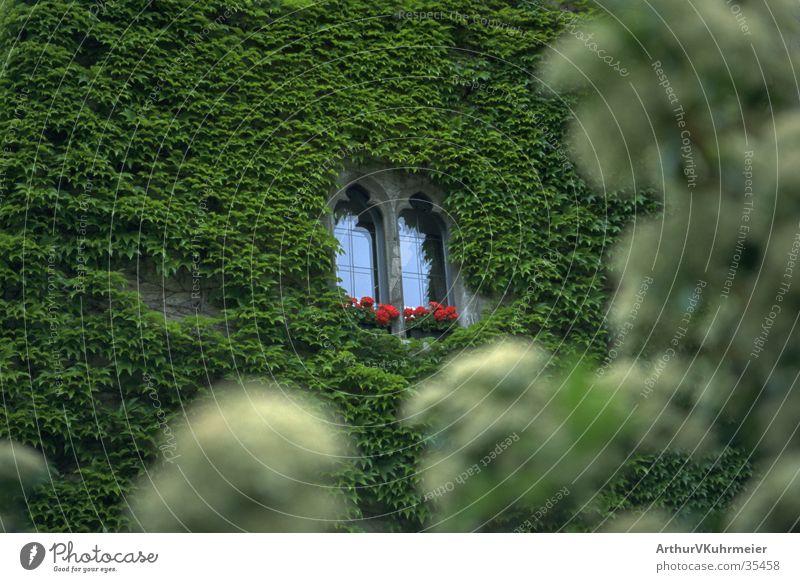 Dornröschens Schloss Fenster Efeu Wand Mauer Architektur Burg oder Schloss grüne Pflanze Vordergrund unscharf rote Blumen verstecken bewachsen