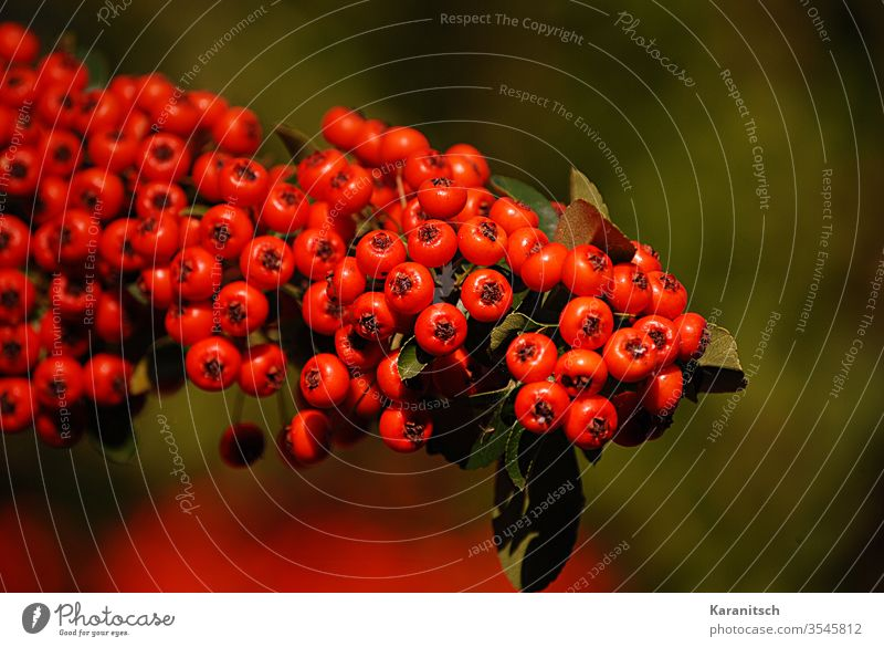 Ein Ebereschenzweig mit reifen  Früchten. Vogelbeere Sorbus aucuparia Kernobstgewächs Futter Futterpflanze Parasorbinsäure Sorbit Zuckerersatz Blätter heilen
