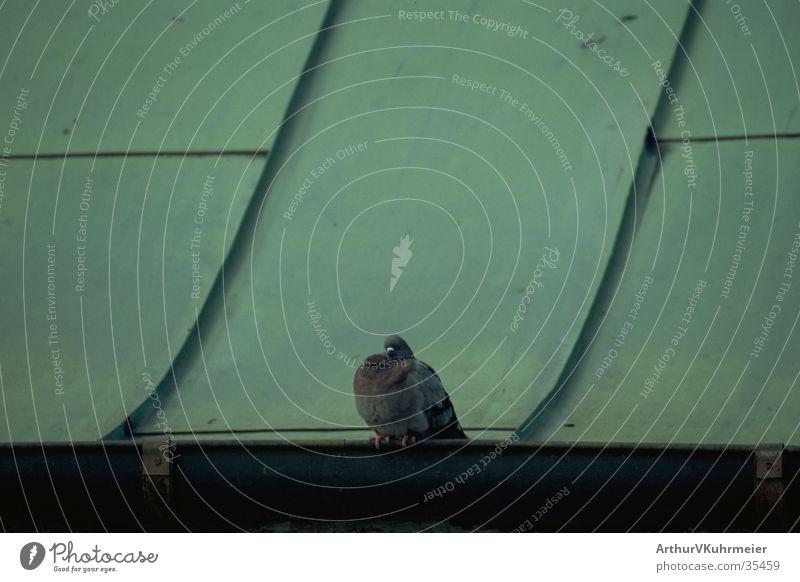 Taube auf Blechdach Vogel schlafen grünes Blechdach Detailaufnahme Erholung sitzen Einsamkeit