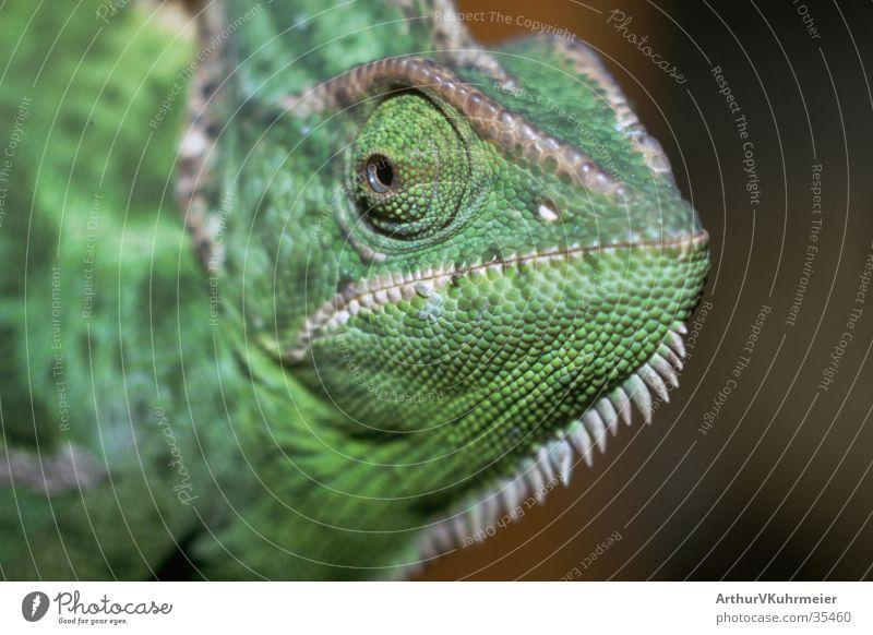 Ich bin das Chamäleon grün Auge Tier Echsen grimmig