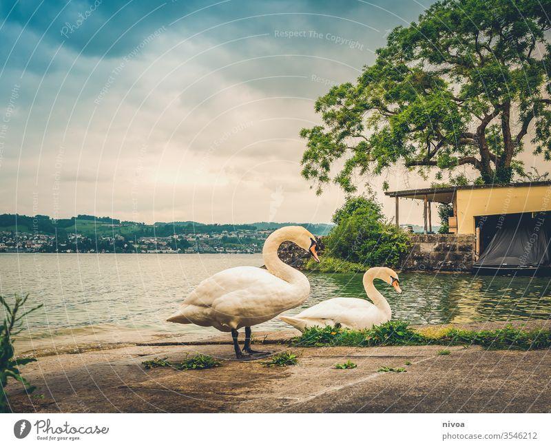 Schwäne am Zürichsee Schwan See Wasser Außenaufnahme Zürich See Schweiz Feder blau Natur Farbfoto Vogel Tier Landschaft Im Wasser treiben Seeufer Wellen