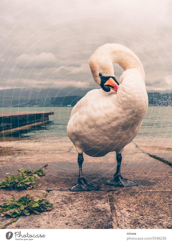 Schwan am Zürichsee Vogel Zürich See Tier Wasser Schwimmen & Baden Schwanensee Natur Außenaufnahme Feder weiß Im Wasser treiben Stolz Reflexion & Spiegelung