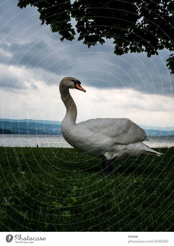 schwan vor dem zürchersee Schwan Zürich See Wasser Tier Vogel Reflexion & Spiegelung Außenaufnahme Farbfoto Schwanensee Schweiz Natur Schwimmen & Baden Feder