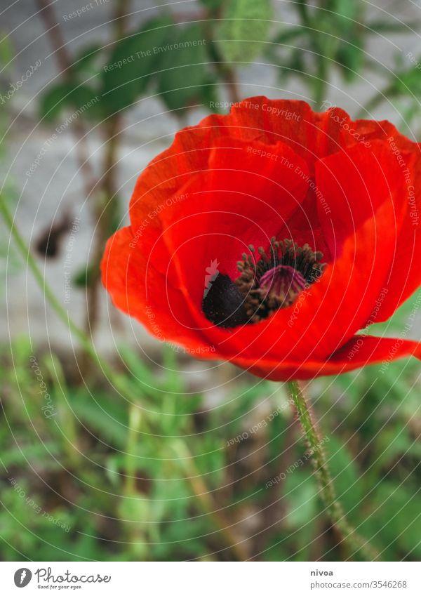 rote Mohnblume Mohnblüte Mohnfeld grün Blume Detailaufnahme Farbfoto Natur Sommer Feld Außenaufnahme Blüte Pflanze mehrfarbig Tag Blühend Landschaft Mohnkapsel