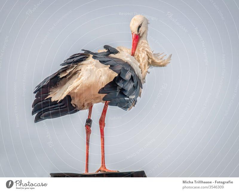 Storch bei der Gefiederpflege Weißstorch Ciconiidae Kopf Schnabel Auge Hals Federn Flügel Beine Pflege Körperpflege Vogel Wildvogel Tier Wildtier Natur Dach