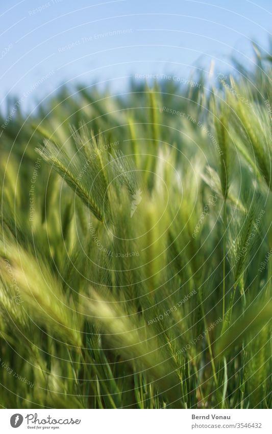 Ernte Korn Herbst Sommer Licht Sonnenlicht grün Getreidefeld blau Himmel Schwache Tiefenschärfe Halm zart Bokeh Ackerbau Landwirtschaft Lebensmittel Wind