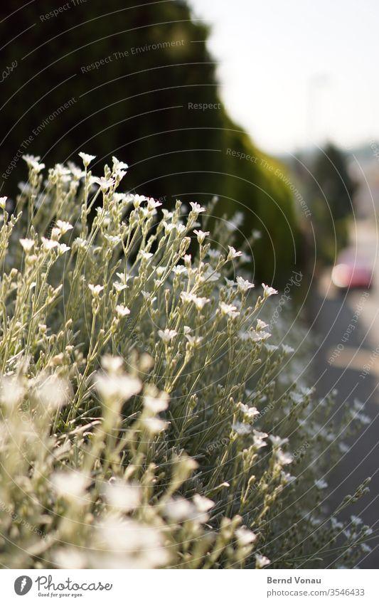 blüht Kleinstadt Dorf Wegrand bluten Wachstum Dekoration & Verzierung Vorgarten Garten grün weiß Pflanze Bokeh Schwache Tiefenschärfe Sonnenlicht Sommer Hecke