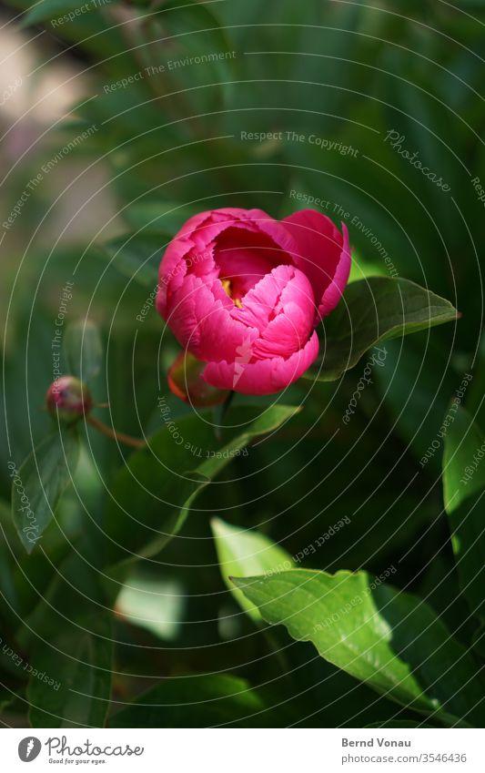 Pfingstrose Blume rosa Pflanze Frühling Natur schön Blüte Garten Blütenblatt frisch Nahaufnahme Farbfoto Farbe Blatt grün natürlich zart gelb Sonnenlicht