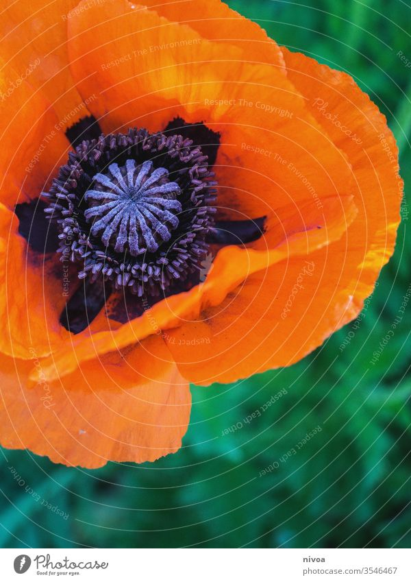 Nahaufnahme einer Mohnblume Mohnblüte Mohnfeld Blüte Blume Detailaufnahme detailliert Makroaufnahme orange grün violett Sommer Farbfoto schön Natur Pflanze