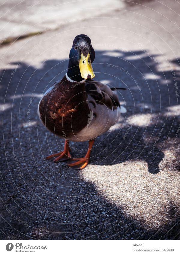 Ente auf dem Bürgersteig Entenvögel Geflügel Sommer Vogel Tier Natur Farbfoto Wildtier Menschenleer Teich Straßenbelag Muskovy Ente Tierjunges Baby niedlich