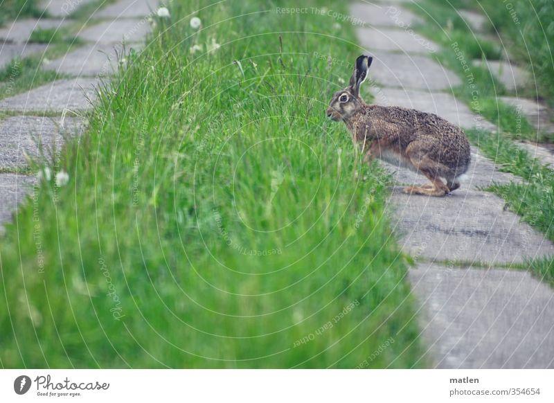 Hoppla Hoppel grün Tier Wiese Gras grau Feld Wildtier Beton Hase & Kaninchen