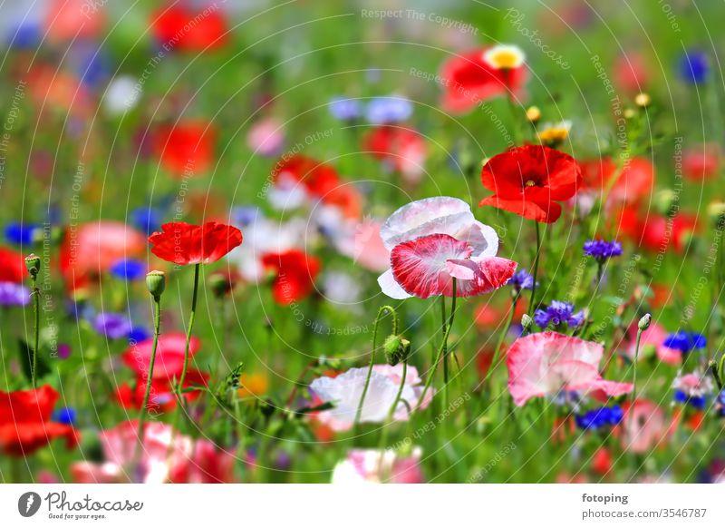 farbenprächtige Blumenwiese Blatt Blumenfeld Blumenhintergrund Blümchen Blüte Botanik Dekoration Feld Flora Gras Hintergrund Jahreszeit Klatschmohn Klima