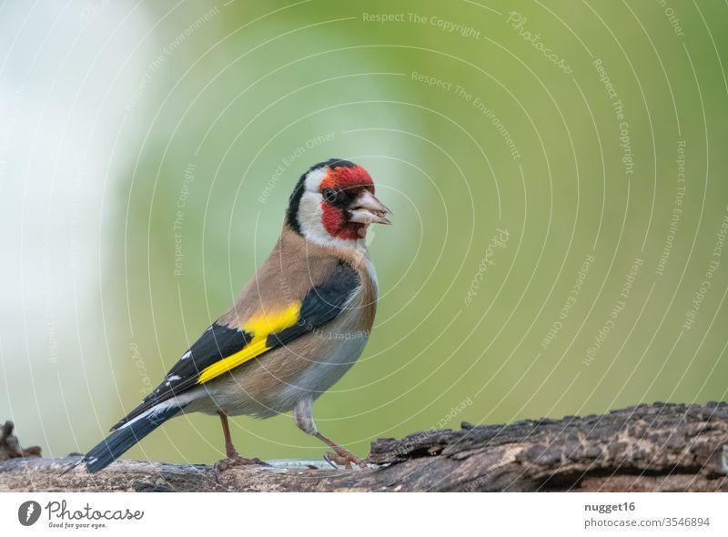 Stieglitz / Diestelfink auf Ast Vogel Tier Natur Außenaufnahme Farbfoto 1 Menschenleer Wildtier Tierporträt Tag Umwelt Schwache Tiefenschärfe grau