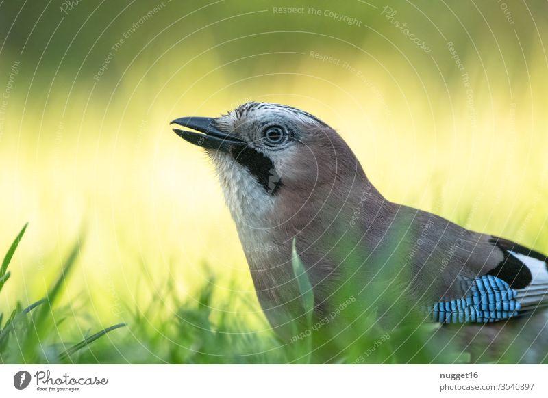 Eichelhäher im Gras Vogel Tier portrait Außenaufnahme Farbfoto Wildtier Natur Tierporträt Menschenleer Tag blau Flügel Tiergesicht Nahaufnahme