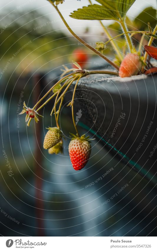 Bio-Erdbeeren Bioprodukte organisch Biologische Landwirtschaft Biografie Frucht lecker rot Nahaufnahme Sommer Natur Tag Vitamin Außenaufnahme Gesunde Ernährung