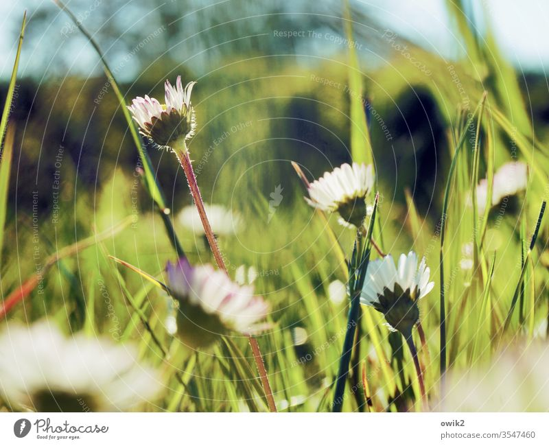 Vor dem Rasenmäher Gänseblümchen Wiese blühend klein nah Bewegungsunschärfe Schwache Tiefenschärfe Blühend Blume Pflanze Außenaufnahme Natur Farbfoto Frühling
