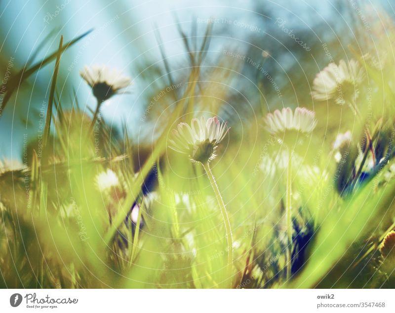 Verhuscht Gänseblümchen Wiese Frühling Bewegungsunschärfe Blume Gras grün Natur gelb weiß Rasen Nahaufnahme Außenaufnahme Makroaufnahme Blühend