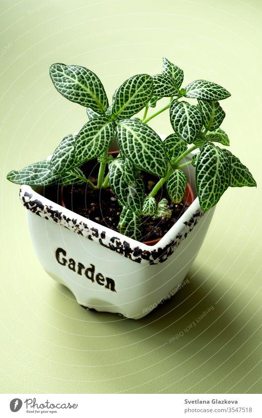 Zuhause bleiben und im Garten arbeiten. Nahaufnahme von grünen, frischen Fittonia-Blüten. Inneres Konzept des städtischen Dschungels. zu Hause bleiben heimwärts