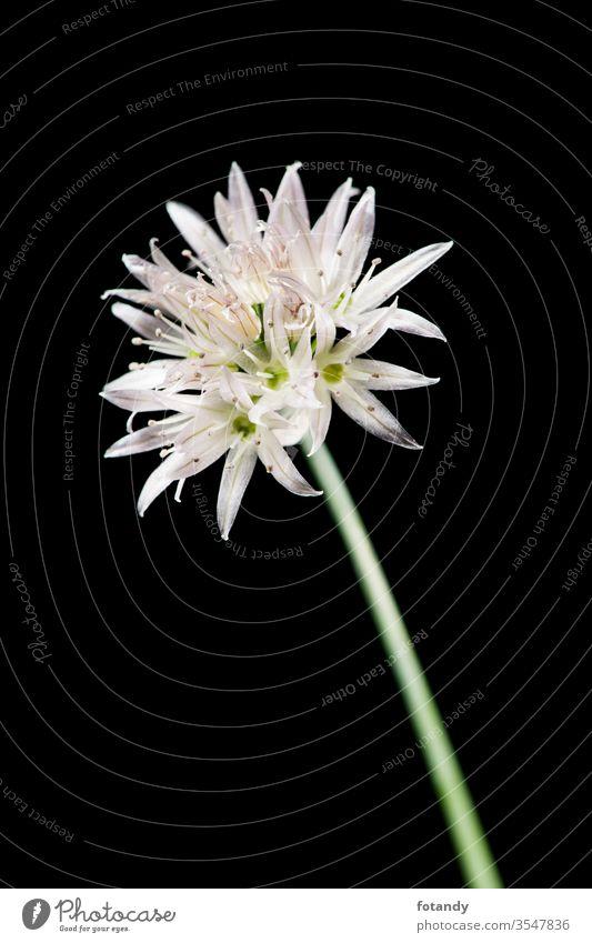 Schnittlauchblüte auf schwarzem Detail Allium schoenoprasum isoliert Aroma Vegetarisch botanisch Frische Flora Gewürze Garten Bokeh kulinarisch Nahaufnahme
