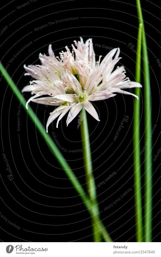 Weiße Schnittlauchblüte mit grünen Stielen parallel Allium schoenoprasum isoliert Aroma Freisteller textfreiraum Vegetarisch botanisch Frische Flora Gewürze