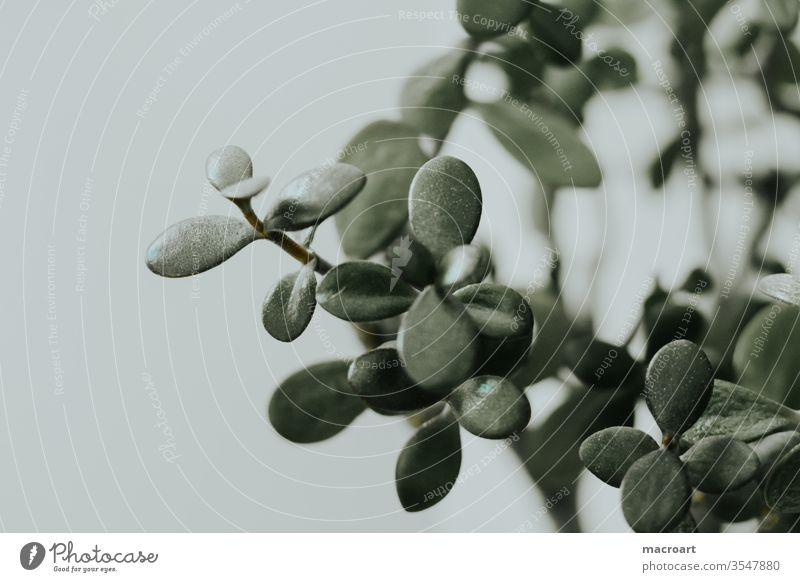Pfennigbaum Pflanze Fenster Blumentopf Zimmerpflanze Topfpflanze Tag Innenaufnahme Menschenleer ruhig Grünpflanze grün crassulaceae Dickblattgewächse Dekoration