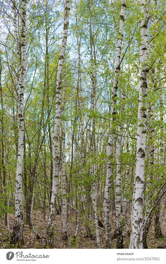 Birkenwald birkenwald gepflanzt weiß rinde pflanzem jung aufforstung jung triebe blatt blätter hochformat natur landschaft